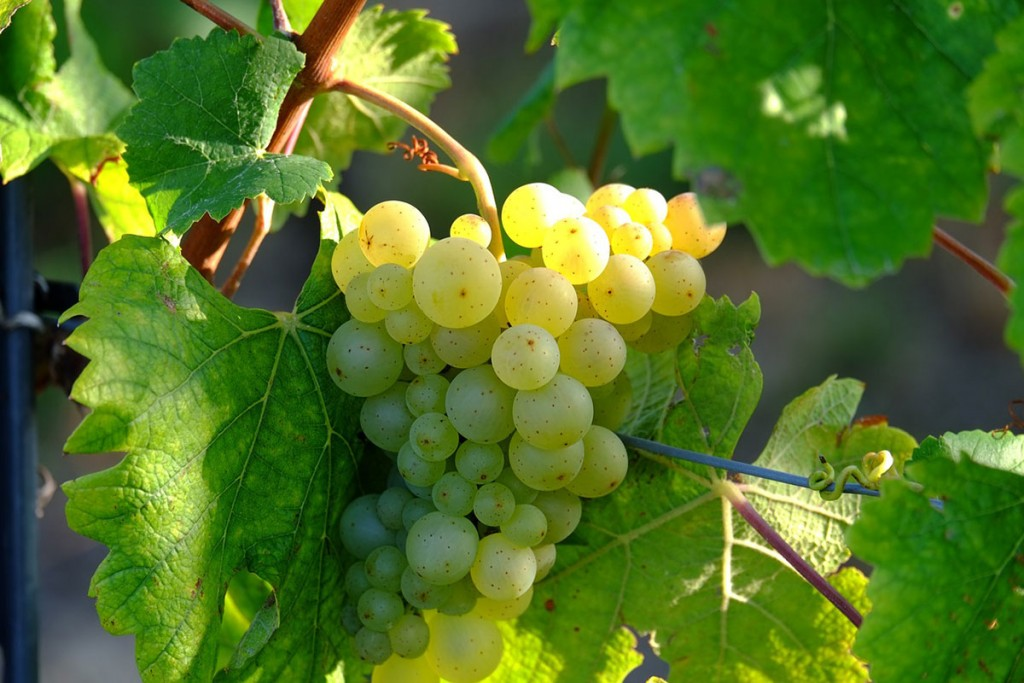 Oggi parliamo del… Sauvignon Blanc
