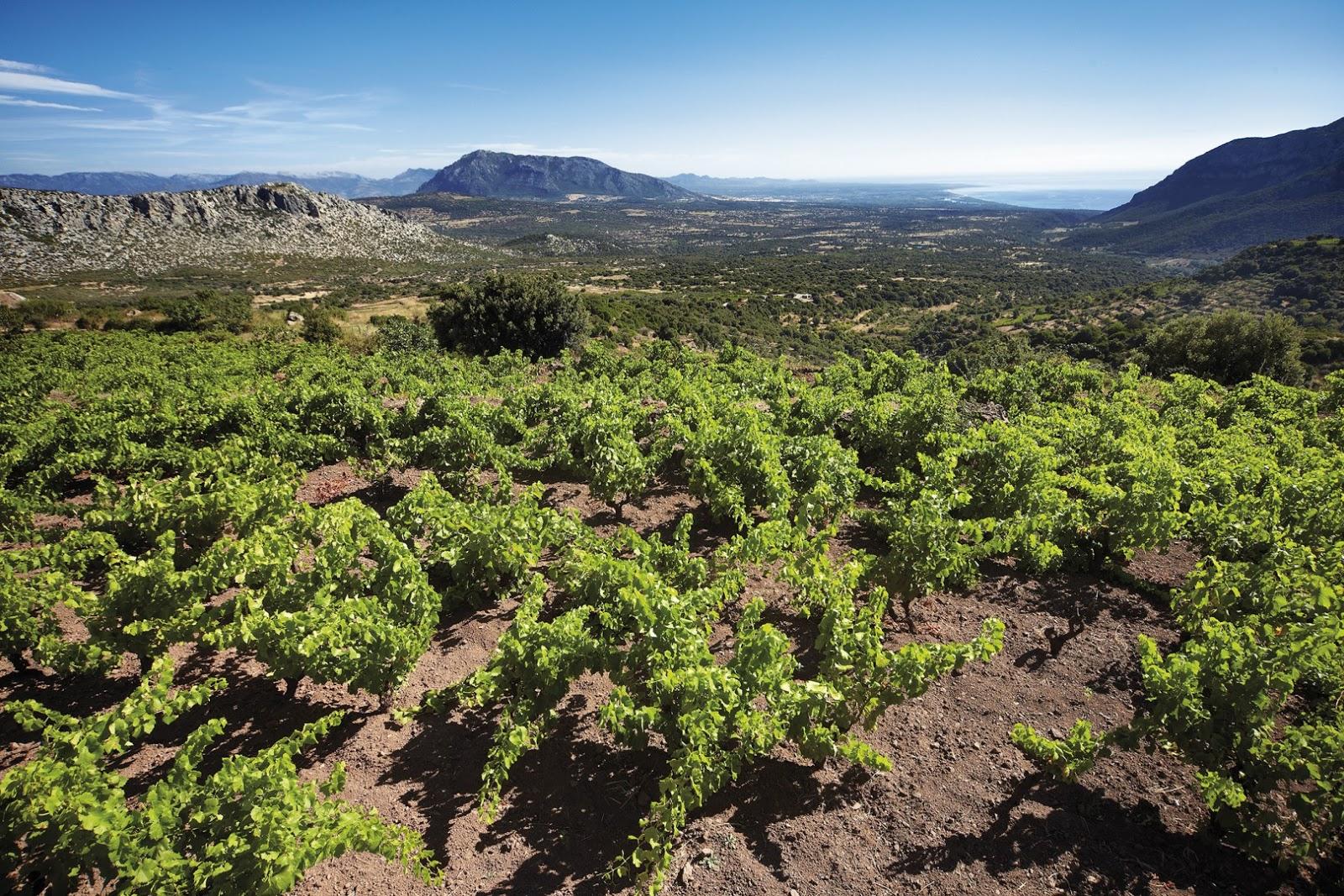 Binu malu e pani tostau durant de prus: La viticoltura in Sardegna